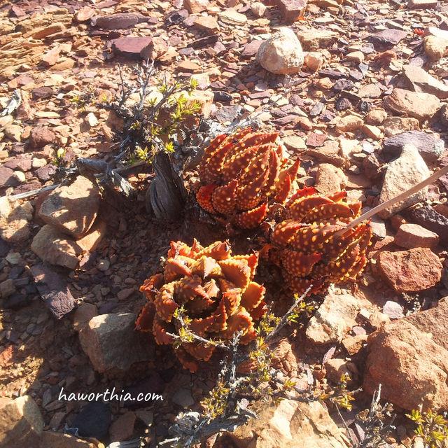 冬星座(T. maxima)在罗伯特森卡鲁(Robertson Karoo)区的原生地,这是卡鲁多肉植物区的子类型。
