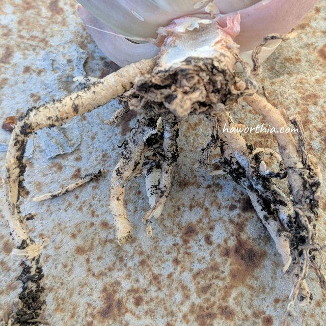 一只根粉介壳虫与白色残留