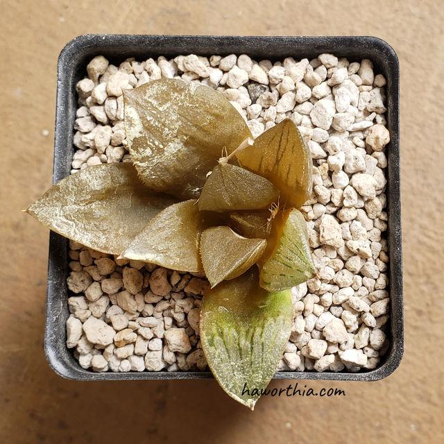 在高温下腐烂会快速传播到整株植物。