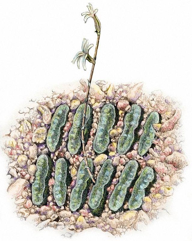 玉扇(H. truncata)